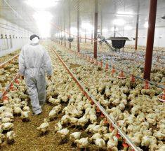 El Reino de Arabia Saudita prohíbe la importación de aves desde España por la gripe aviar
