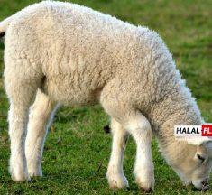 El legislador australiano empuja para poner fin a las exportaciones de ovejas en vivo, amenaza el equilibrio del gobierno