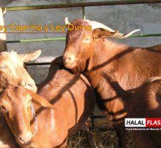 Avanzan en proyectos de Ley Caprina y Ley Ovina