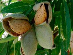 Estados Unidos: aranceles podrían complicar la comercialización de la almendra californiana
