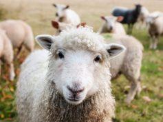 Los veterinarios británicos piden aclaraciones sobre el asunto del cordero exportado