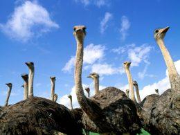 La hamburguesa de avestruz que resultó ser de ternera. Y lo mismo pasa con una quinta parte de la carne procesada, denuncia un estudio
