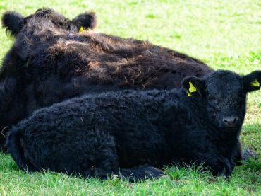 El gobierno británico instó a mantener la prohibición de la carne de vacuno tratada con hormonas