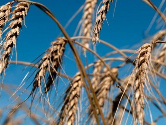 Argelia rechaza el trigo argentino por su mala calidad