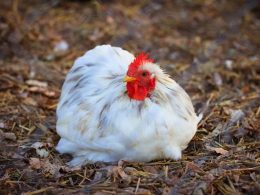 Brasil supera las 316.000 t de carne de aves exportadas en febrero