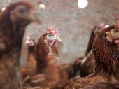 Rusia está construyendo su propio sindicato para los avicultores.