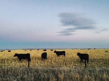 Alemania exportó 70.000 bovinos a países fuera de la Unión Europea