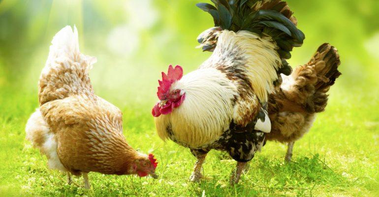 Bulgaria aumenta su producción avícola en un 10%.