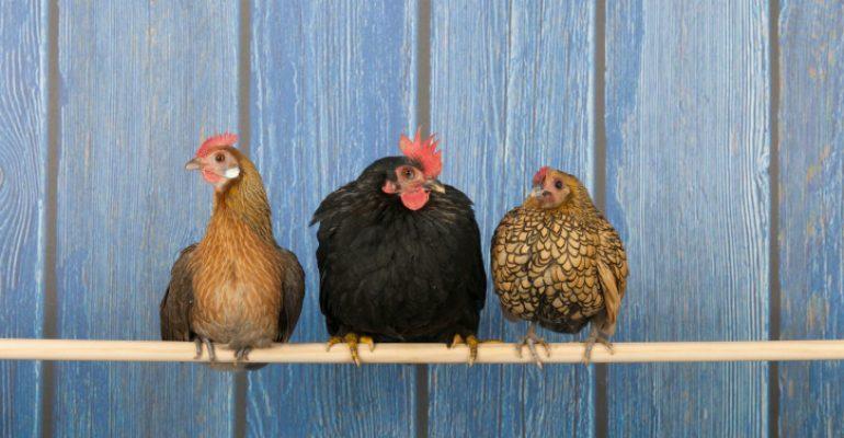 Perdue implementa nuevo programa de bienestar animal.