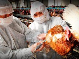 Un brote de gripe aviar puede ser desastroso para Vietnam