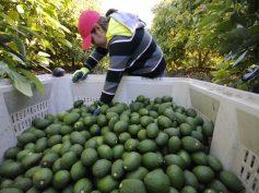 Perú: Agroexportaciones sumaron US$ 783 millones en enero de este año y crecieron 20%