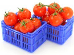 En riesgo la exportación de tomate mexicano