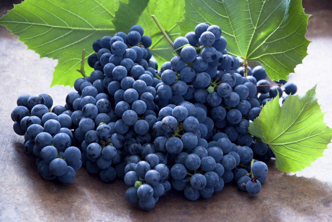 Las uvas negras indias obtienen buenos precios en el mercado chino