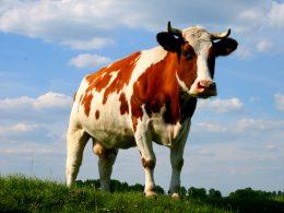 Brasil : Por falta de norma, faena de vacas preñadas creció 1,38 % en Río Grande del Sur