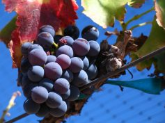 Perú : Uva fresca lidera las agroexportaciones entre enero y abril 2019, según AGAP