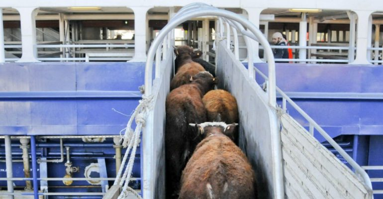 México : Preocupa iniciativa de sacrificio de ganado