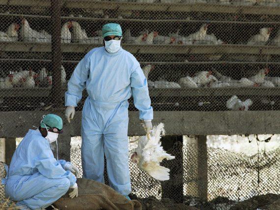 Nuevos brotes de gripe aviar reportados en Bulgaria